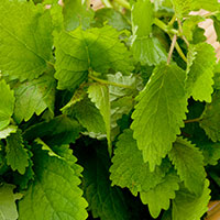 Lemon Balm is your salad