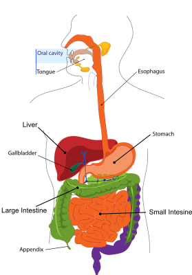 diagram of the human body